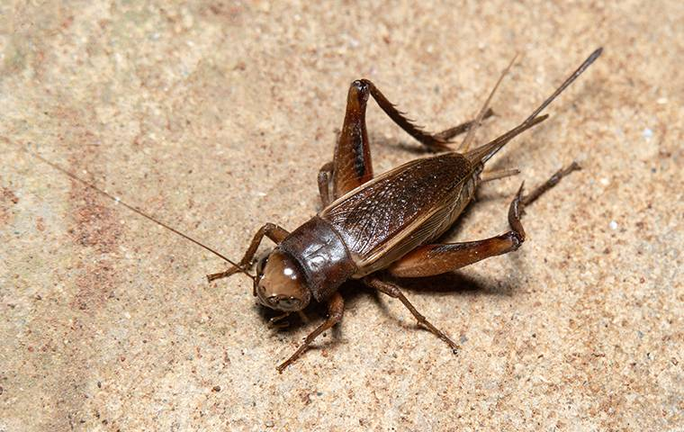cricket in basement