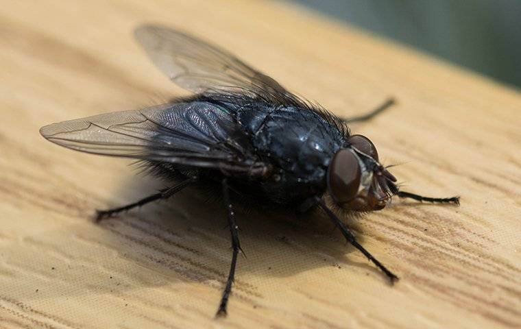 house fly landing on counter