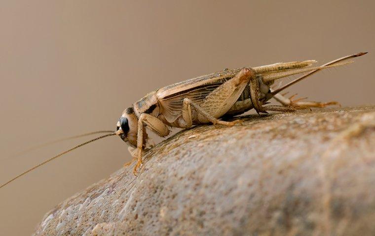 a cricket on a rock