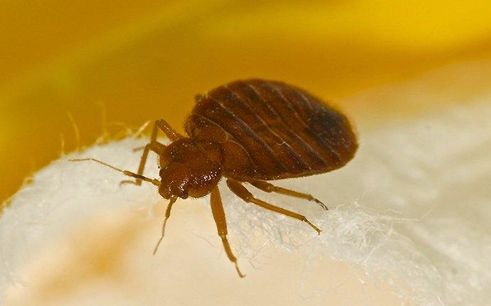 a bed bug crawling on bedding in wake forest north carolina