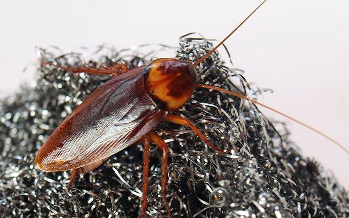 american cockroach on steel wool