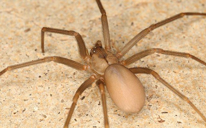 a brown recluse spider in a kitchen