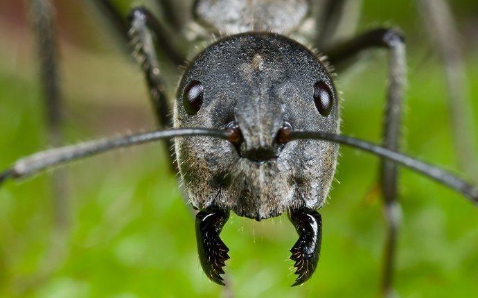 close up of carpenter ant head