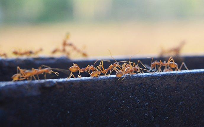 fire ants crawling on landscaping