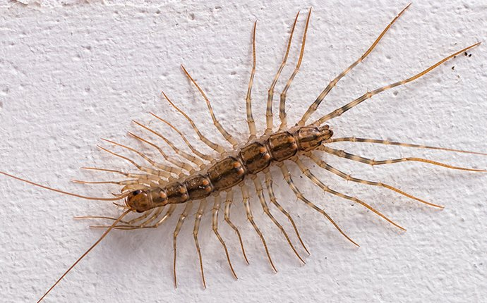 a house centipede crawling on a wall