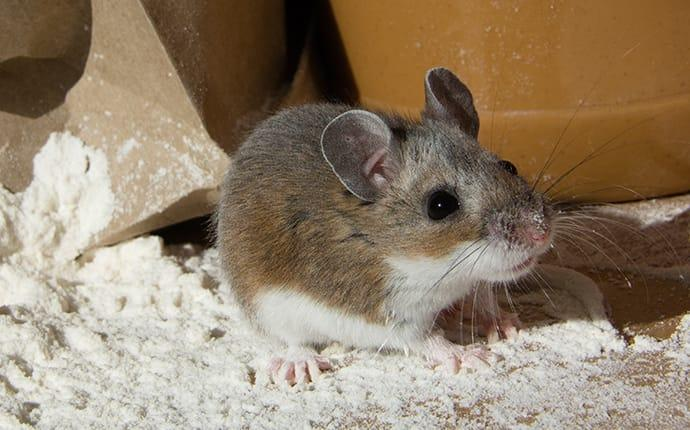 a house mouse crawling in flour in a pantry
