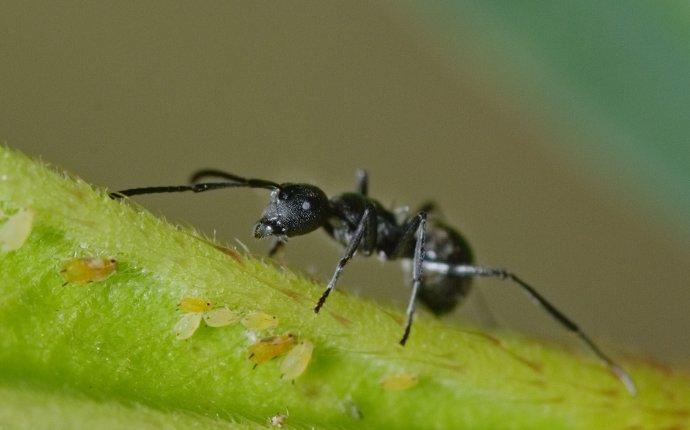 an odorous house ant in a garden