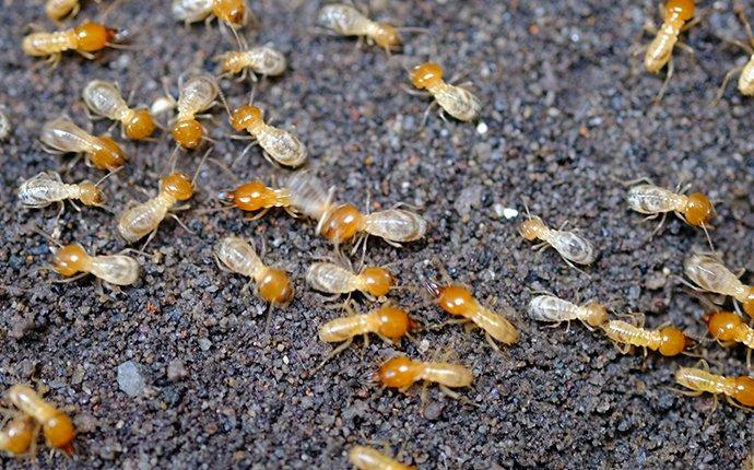 termites on the ground