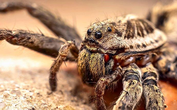 wolf spider face up close