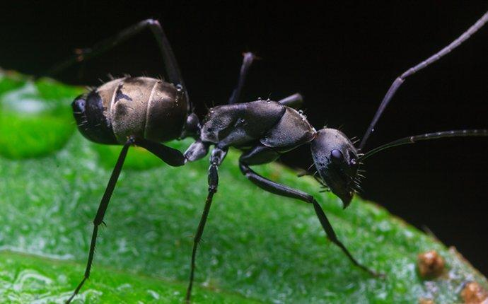 a carpenter ant crawling on a leaf