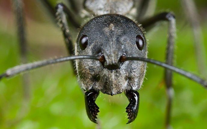 carpenter ant's face