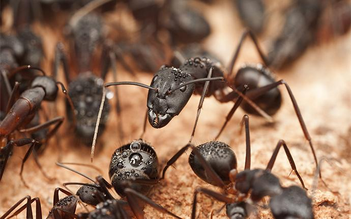 black carpenter ants on dirt