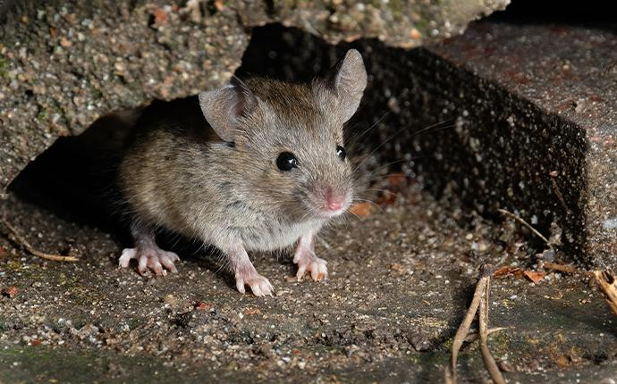 a mouse peeping out of a gravel hole