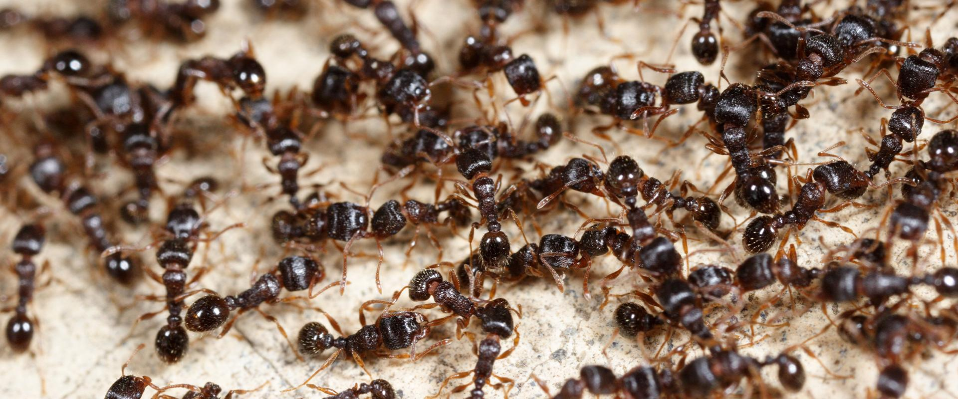 a colony of black ants