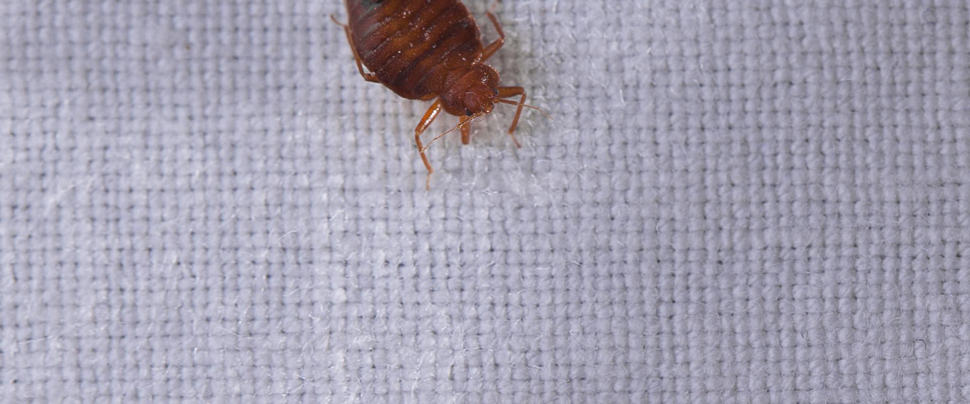 bedbug on a mattress