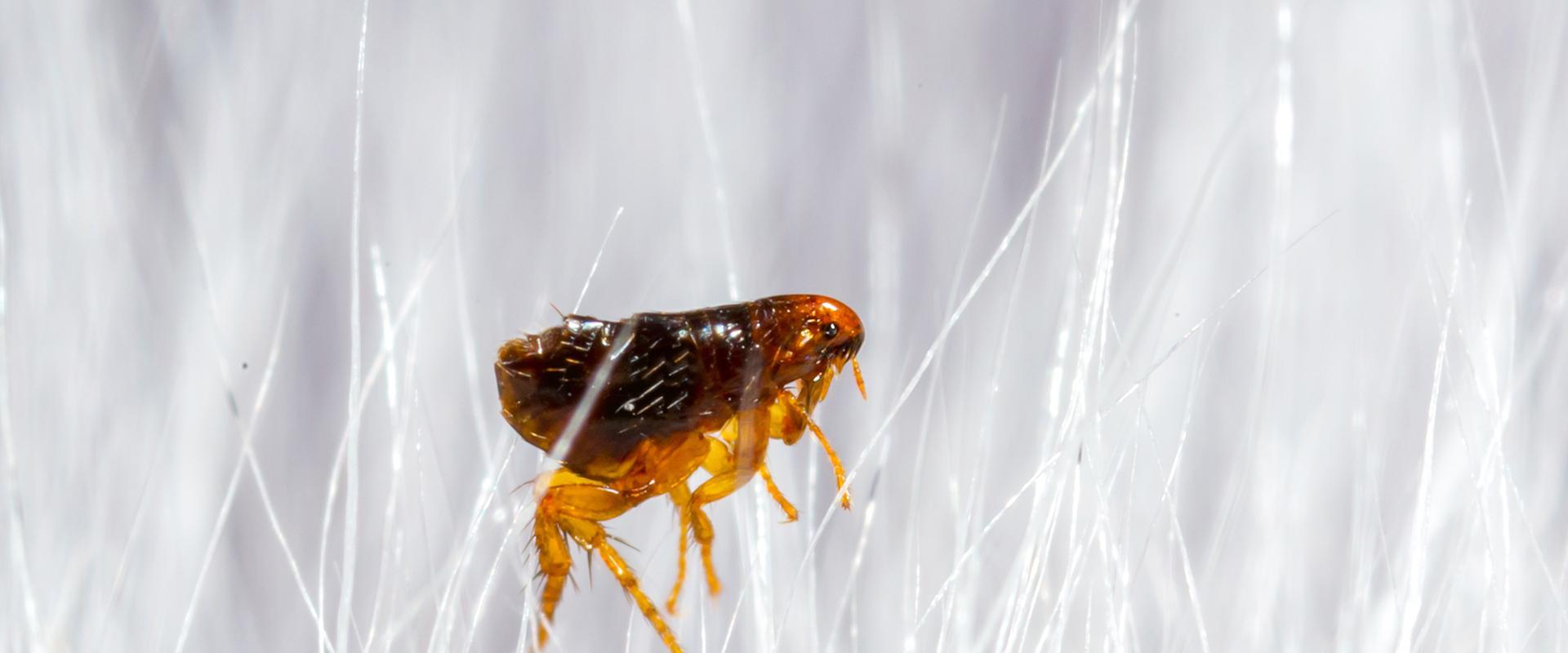 a flea in white dog hair