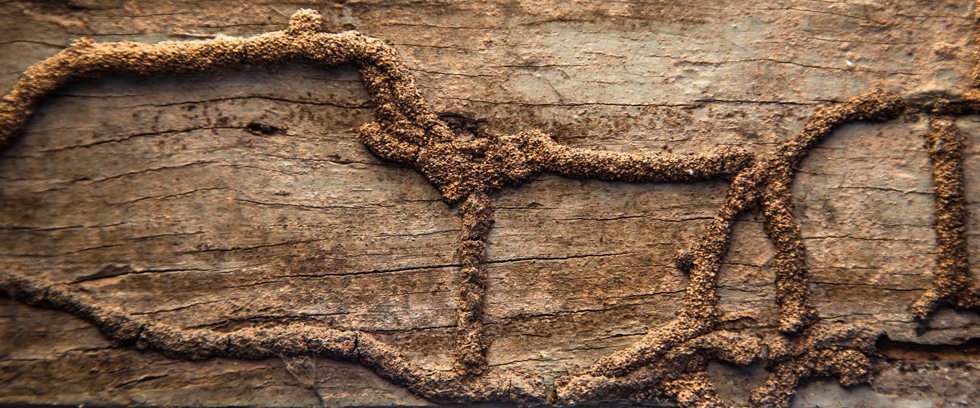 termite nest on wood