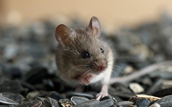 mouse in bird feeder