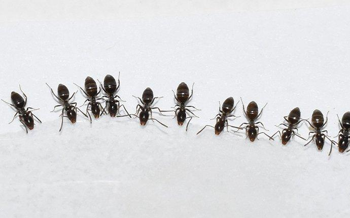 ants in a line