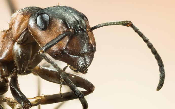 closeup of a black ant