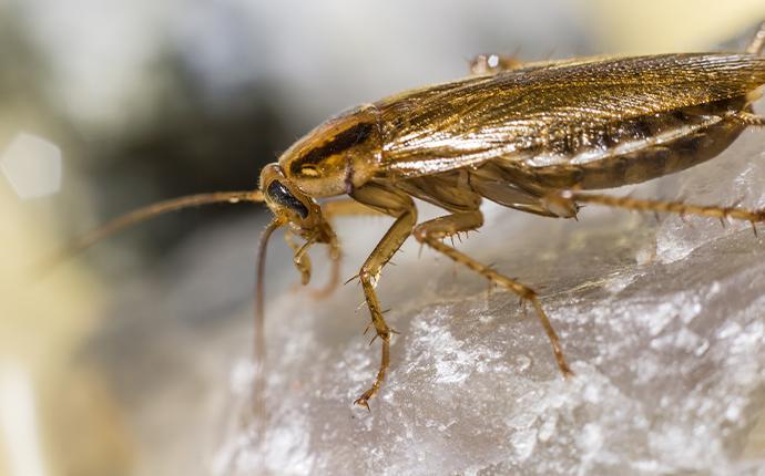 a german cockroach on a rock