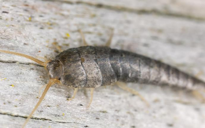 a silverfish on a wood table