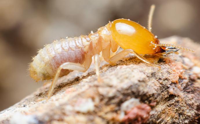 a termite crawling on damaged wood