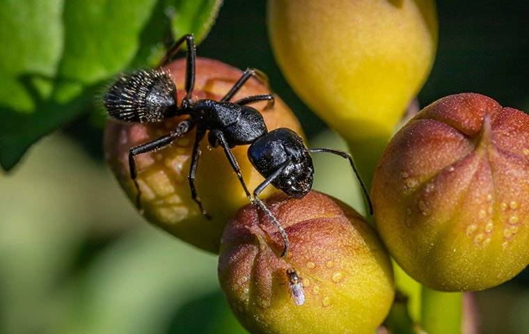 a carpenter ant crawling on pieces of fruit covered in dew