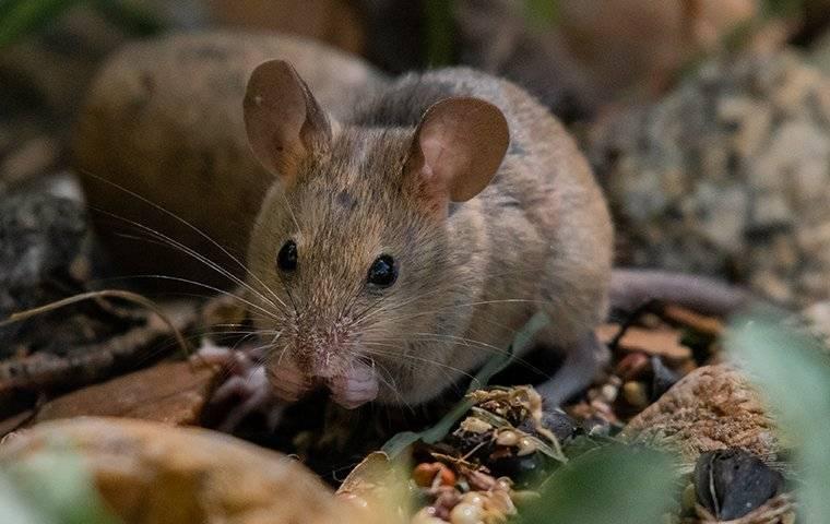 a house mouse outside house