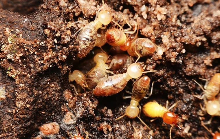 a colony of termites