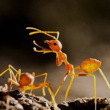 fire ants at duck