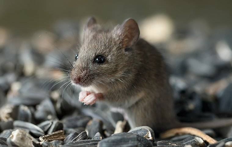 a tiny house mouse eating seeds