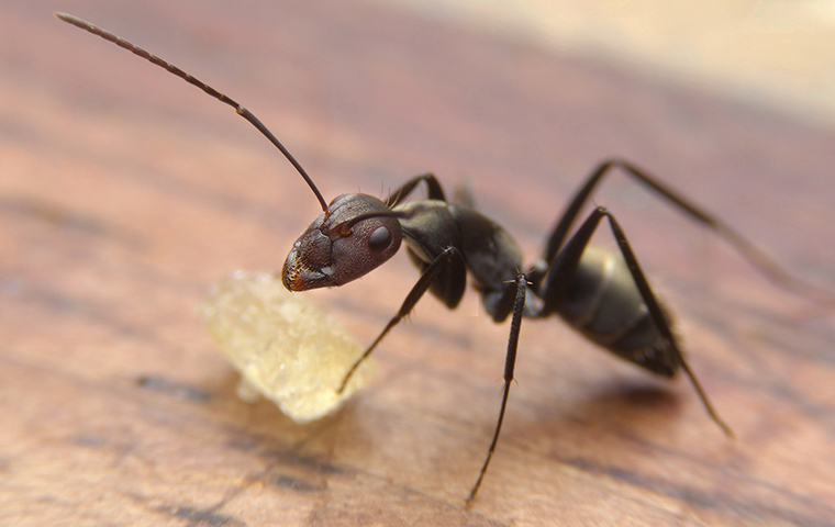 an ant crawling inside of a home in leigh county