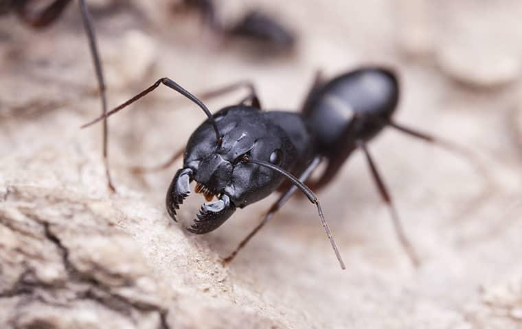 carpenter ant on a rock