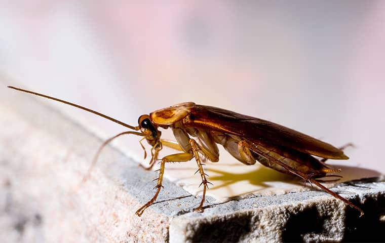 an american cockroach crawling alog the edge of a stone structure inside of a pennsylvania home