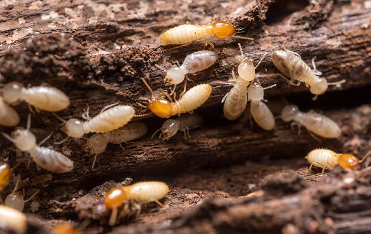 a termite colony destroying wood at a home in pennsylvania