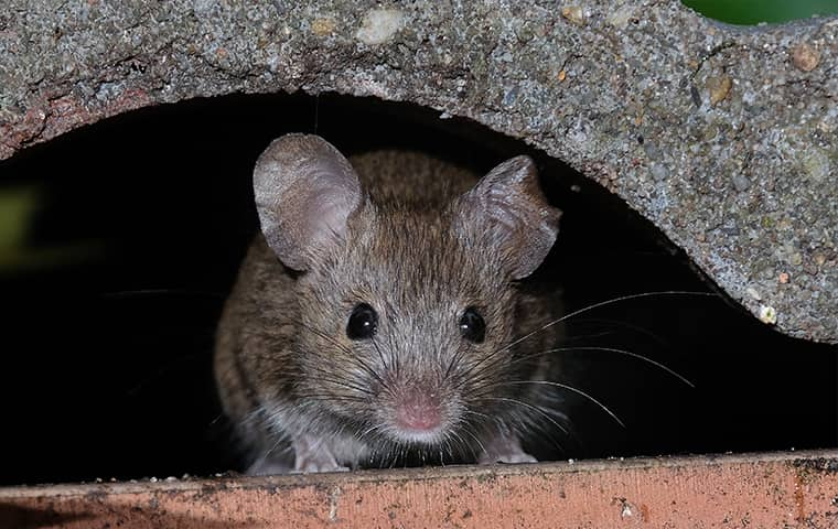a mouse hiding outside of a home