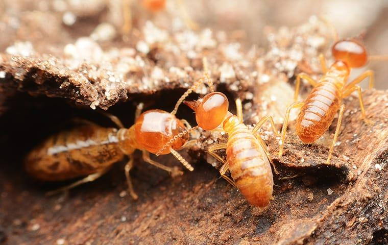 a swarm of termites infesting a montgomery county home