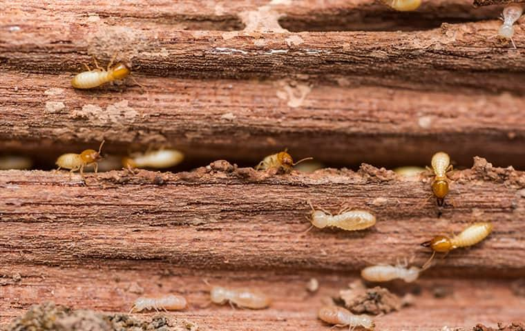 a swarm of termites chewing through a wooden structure of a norristown home