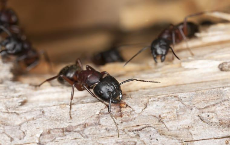 carpenter ants chewing wooden framework of a norristown home
