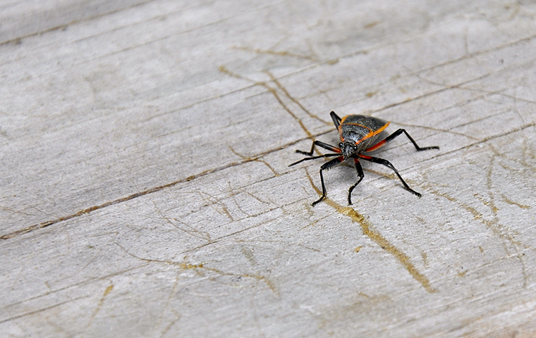 a box elder bug outside of a home in berks county pennsylvania