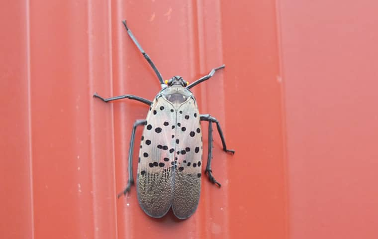 a lanternfly outside of a home in bucks county pennsylvania