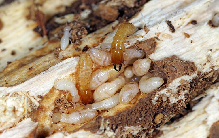 a group of termites crawling on damaged wood at a home in chester county pennsylvania