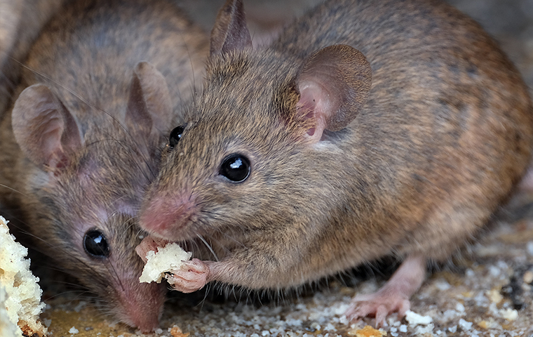 two rats eating cake inside of a home in philadelphia