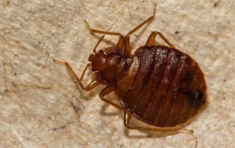 close up of bedbug on boxspring