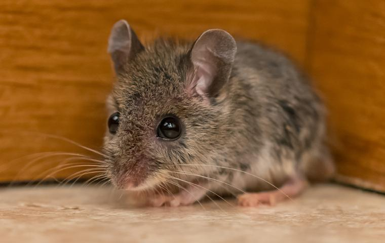 close up of a mouse on the floor