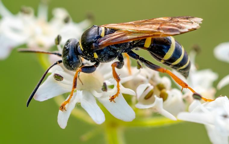 close up of a wasp on a flower