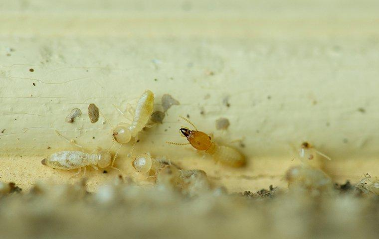 termites chewing on a wooden trim