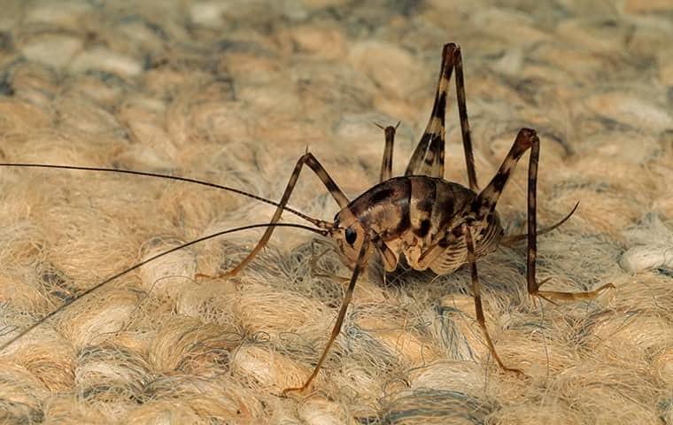 a cave cricket