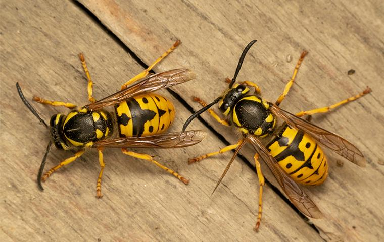 wasps on a table